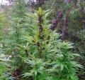 frisian-dew-outdoor-plant-purple-buds-sm.jpg