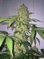 huge-moby-dick-cannabis-bud-cola-sm.jpg