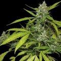 cannabis-sweet-tooth.jpg