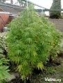 Hollands-Hope-outdoor-plant-in-vegetative-stage-sm.jpg