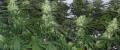 G13_Haze_Growing.png