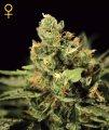 Green_House_Seeds_-_Big_Bang_Autoflowering.jpg