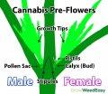 cannabis-preflowers-diagram.jpg