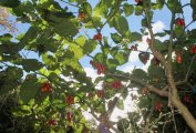 Solanum betaceum.jpeg