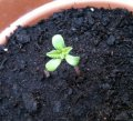 3-leaf-seedling-marijuana.jpg
